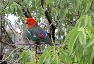 King parrot in the tree outside our window  in Australia.