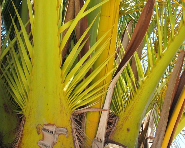 The extremely sharp and hard spikes of a Canary Island palm.