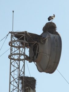 Storks nesting on top of a parabolic communications disc.