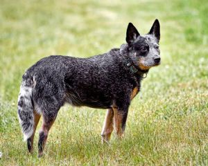 Australian blue cattle dog. Also known as a Queensland blue heeler. Image credit: Zingpix via Wikipedia.