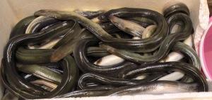 A box of live eels.