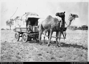 Photo of camels in harness from the National Library of Australia.