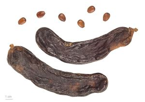 Carob seeds and pods. The pods must be dry like these before eating. Before they are dry they taste absolutely revolting. Image credit: Roger Culos vai Wikipedia.