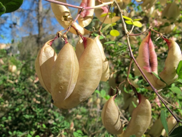 Seed pods near our breakfast spot. Species unknown.