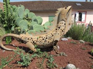 A hybrid bearded dragon/frill necked lizard in the garden.