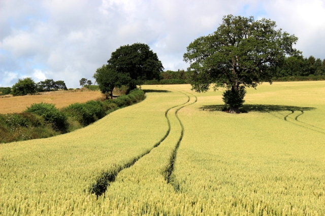 Hedgerows, wheatfields and oak trees.