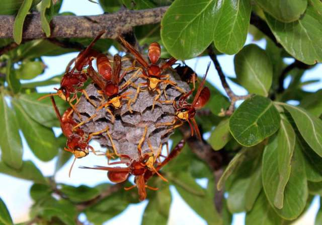Paperbark wasps. Image credit: Ted Rayment