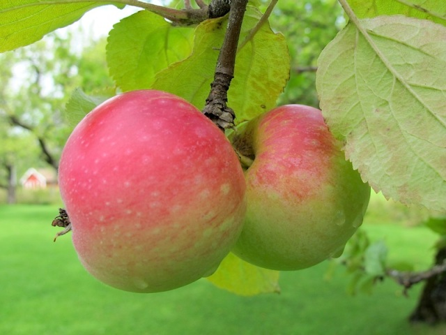Two organic apples ready to be plucked.